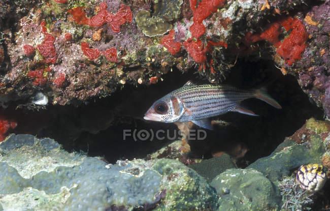 Blackfin Squirrelfish unter Riff Sims — Stockfoto