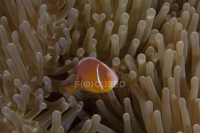 Pesce anemone rosa nell'anemone ospite — Foto stock