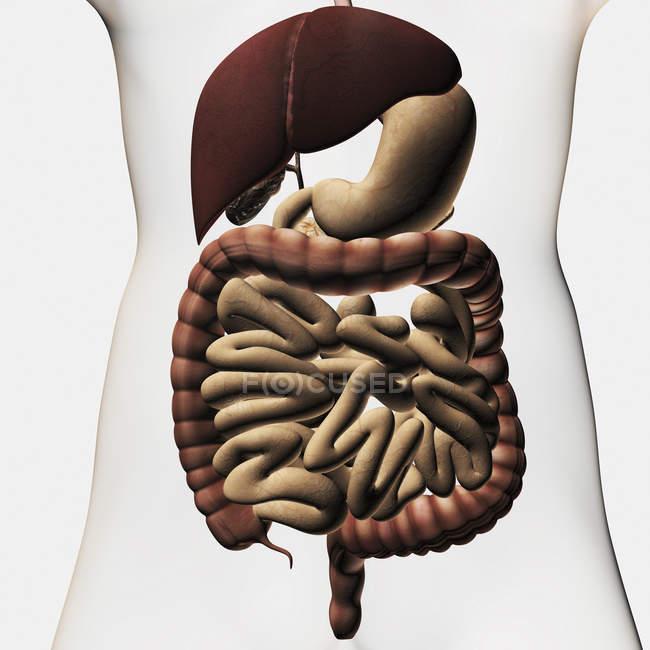 Ilustración médica que muestra el sistema digestivo humano incluyendo hígado, estómago, intestinos gruesos y delgados - foto de stock