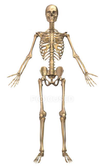 Vorderseite des menschlichen Skelettsystems — Stockfoto