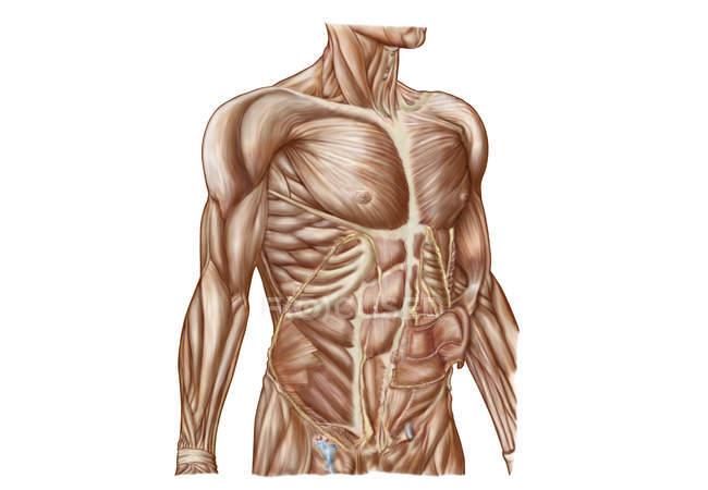 Anatomia dei muscoli addominali umani — Foto stock