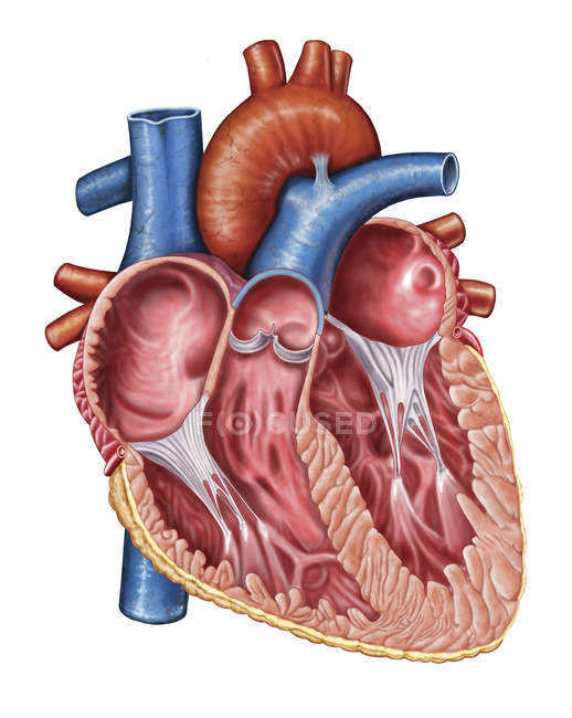 Medical illustration of human heart interior — Stock Photo