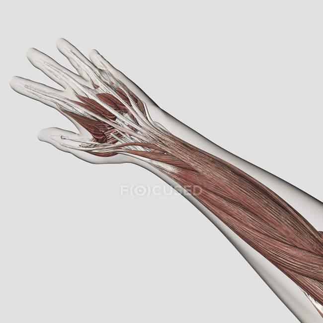 Мышечная анатомия руки и руки белого фона — стоковое фото