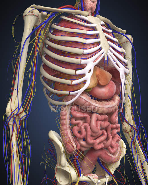Human Midsection With Internal Organs Side View Front View