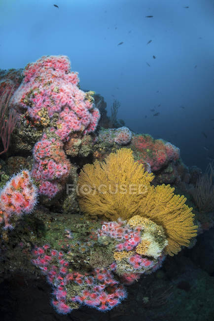 Cup corals and gorgonian sea fans — Stock Photo