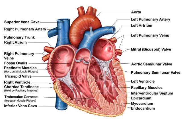 Anatomy of heart interior with labels — Stock Photo