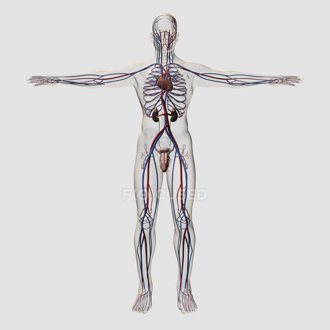 Genitourinary system - Stock Photos, Royalty Free Images | Focused