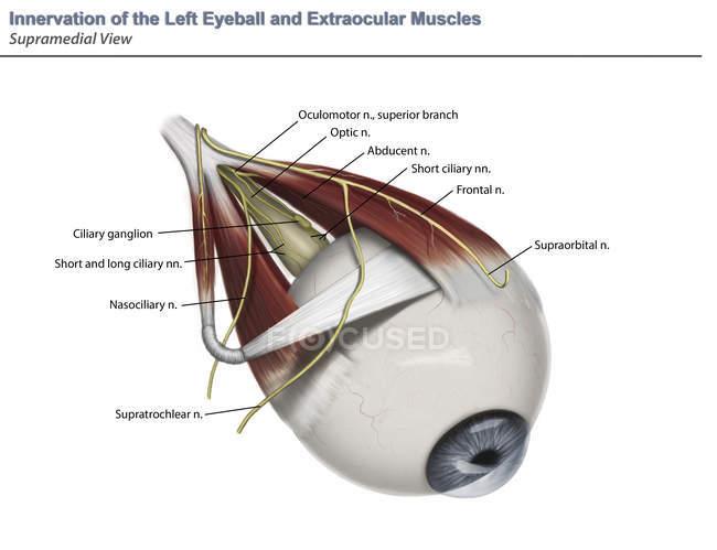 Анатомия глаза supramedial иннервации мышц с аннотациями — стоковое фото