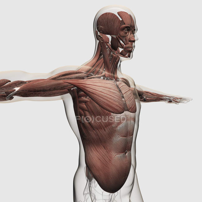 Anatomía de los músculos masculinos en la parte superior del cuerpo - foto de stock