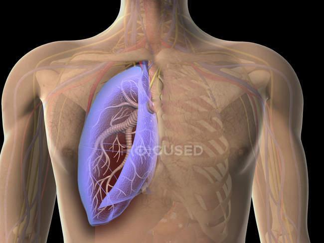 Vue transparente de la poitrine humaine montrant le poumon — Photo de stock