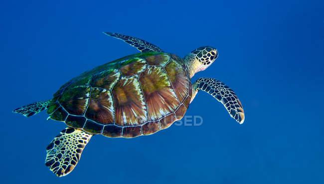 Tortue de mer noire en eau bleue — Photo de stock
