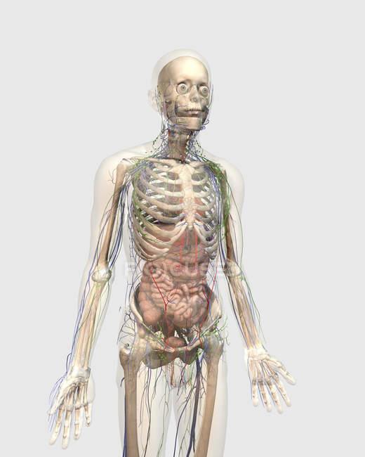 Прозрачный человеческое тело с внутренних органов, лимфатической и кровеносной систем — стоковое фото