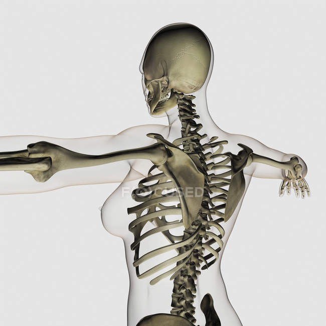 Three dimensional view of female upper back and skeletal system — Stock Photo