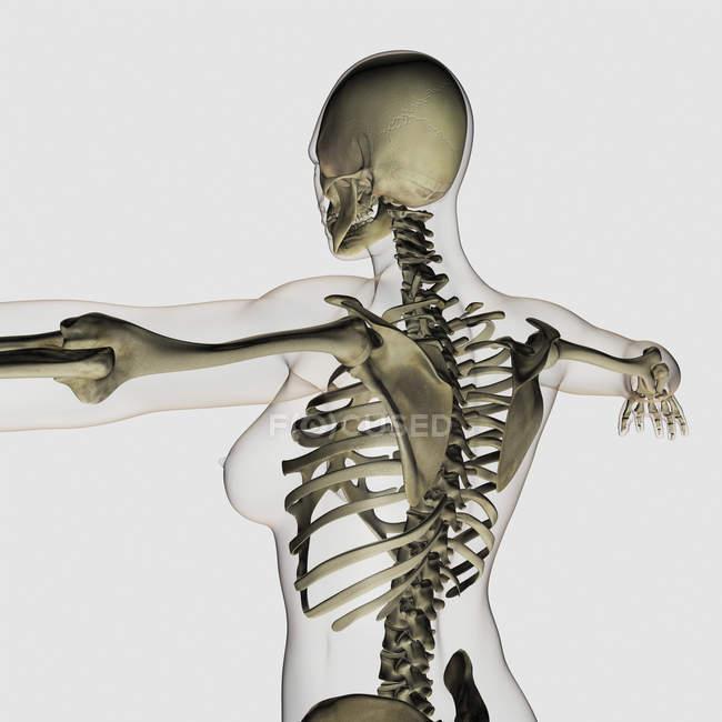 Dreidimensionale Ansicht des oberen Rücken- und Skelettsystems der Frau — Stockfoto