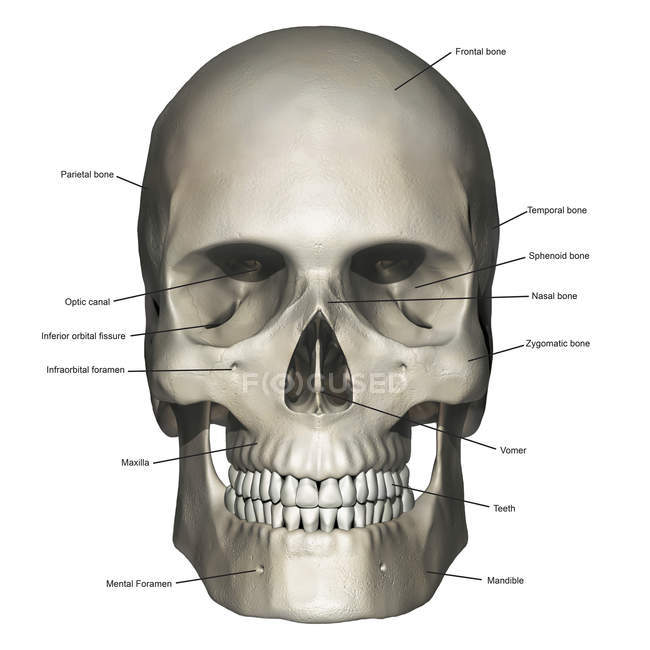Anterior View Of Human Skull Anatomy With Annotations Stock Photo