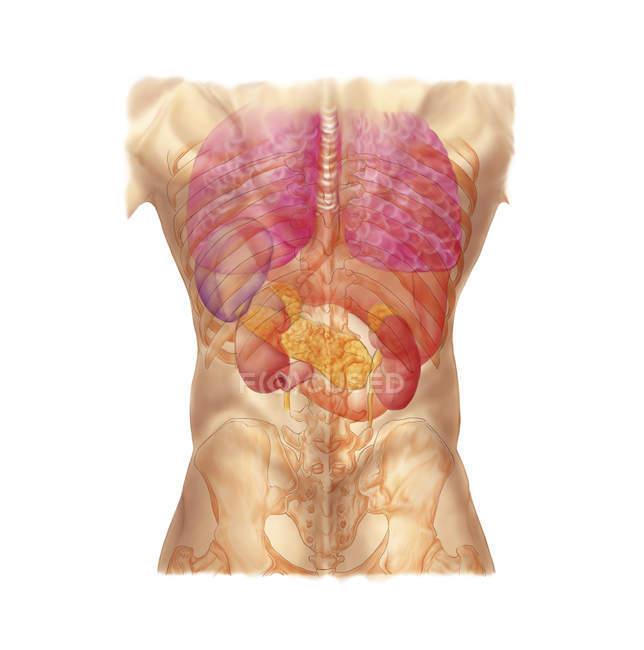 Брюшной квадрантах с внутренних органов и грудная клетка — стоковое фото