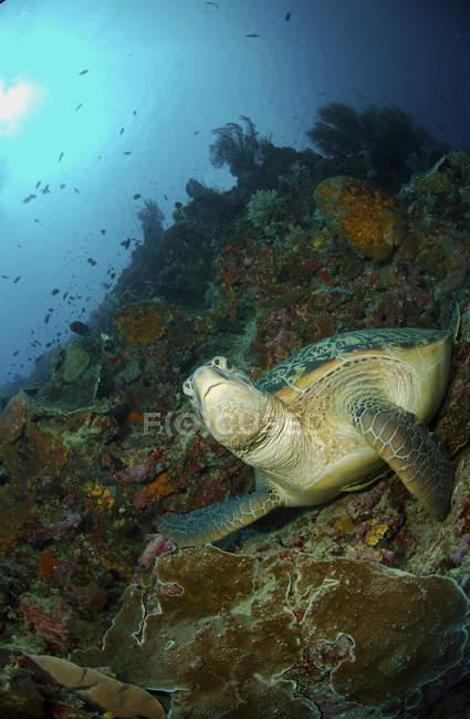 Grüne Meeresschildkröte auf Felsvorsprung — Stockfoto