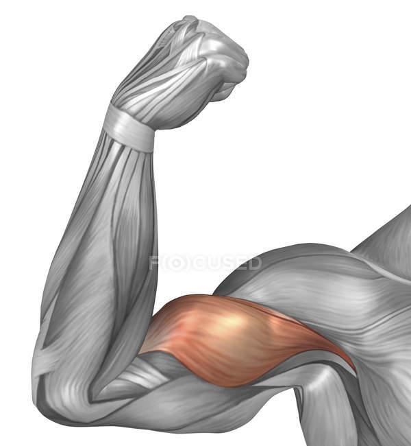 Illustration Of A Flexed Arm Showing Bicep Muscle Stock Photo