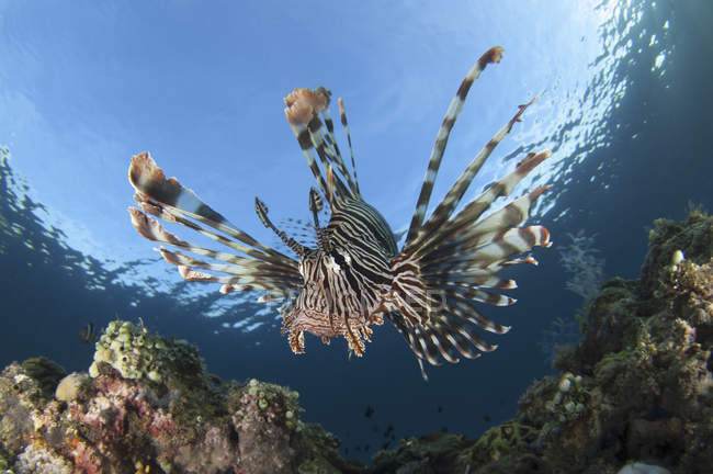 Lionfish in shallow water — Stock Photo