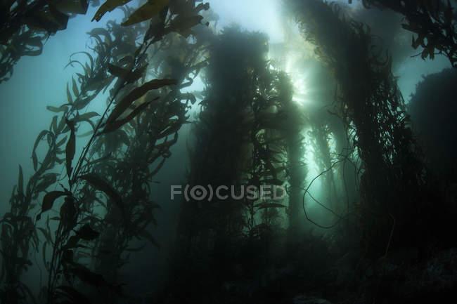 Riesige Kelp-Wald — Stockfoto