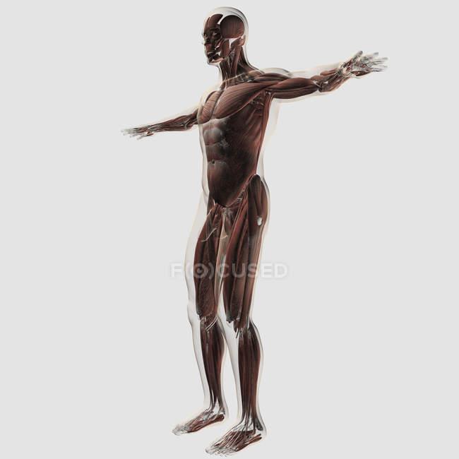 Анатомія чоловічого м'язову систему на білому тлі — Stock Photo