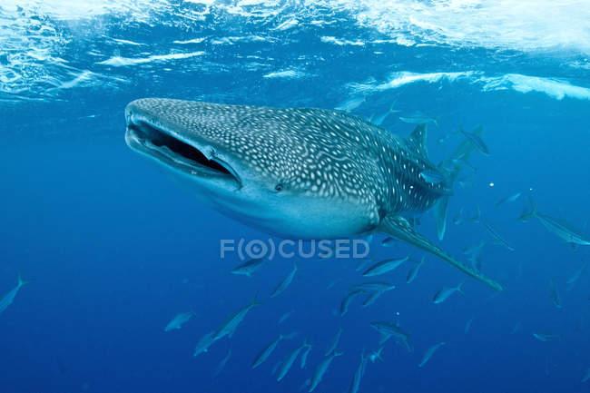Китова акула плавання з відкрив рот — стокове фото