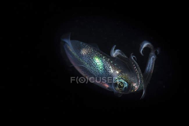 Reef squid hovering in dark water — Stock Photo