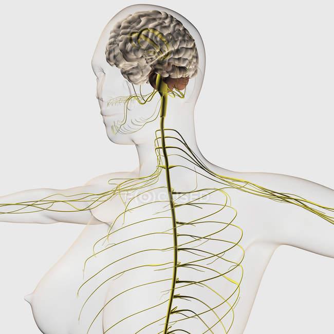 Ilustración médica del sistema nervioso humano y el cerebro - foto de stock