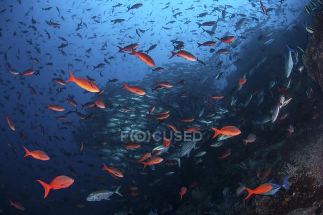 Тихоокеанський creolefish плавання над скелястими, риф — стокове фото