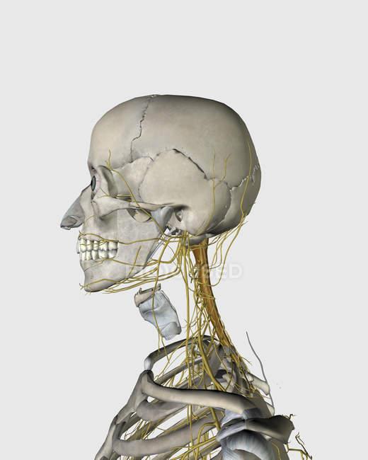 Medizinische Illustration des Schilddrüsenknorpels und der Nerven um Hals und Kopf — Stockfoto