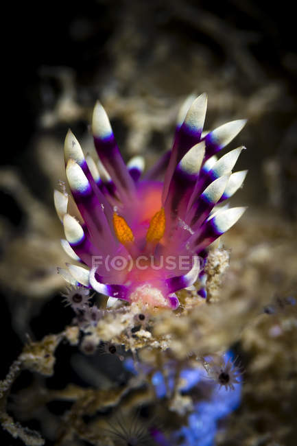 Desirable Flabellina nudibranch — Stock Photo