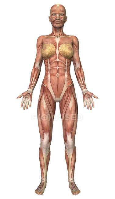 Front View Of Female Muscular System Stock Photo 174713094