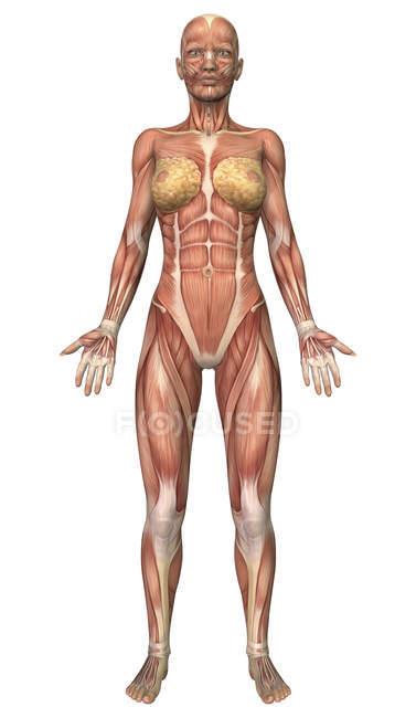 Фронтальний вид жіночої м'язової системи — стокове фото