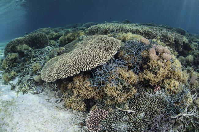 Riff-Gebäude Korallen gedeihen im seichten Wasser — Stockfoto