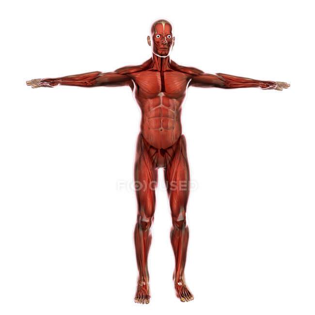 Медичні ілюстрація м'язової системи людини — стокове фото