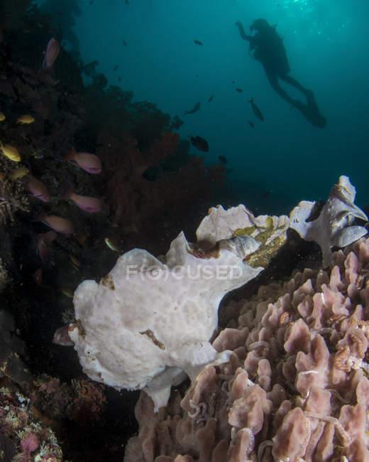 Poisson-mère avec plongeur près du récif — Photo de stock