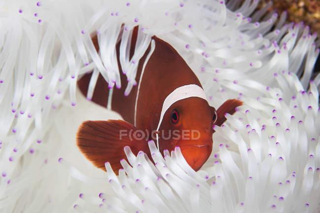 Clownfish à joues épines nageant près de l'anémone — Photo de stock