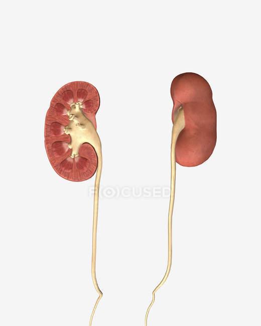 Imagen conceptual de riñones con pelvis renal y uréter - foto de stock
