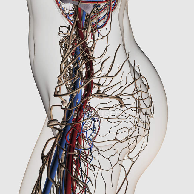 Medical illustration of arteries, veins and lymphatic system in female midsection — Stock Photo