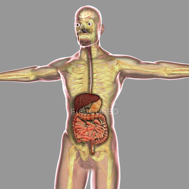 Ilustración médica del sistema digestivo humano - foto de stock