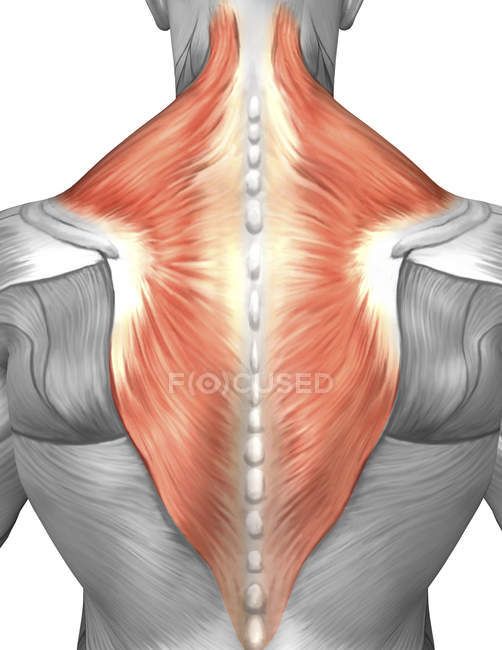 Muscles Of The Back And Neck Stock Photo 174713444