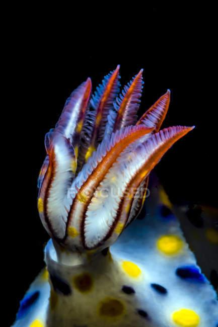 Pillole di nudibranchia colorata Hypselodoris — Foto stock