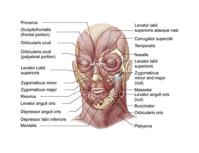 Facial Muscles Of The Human Face With Labels Stock Photo 174713512