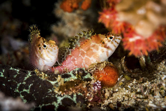 Due hawkfish in ambiente naturale — Foto stock