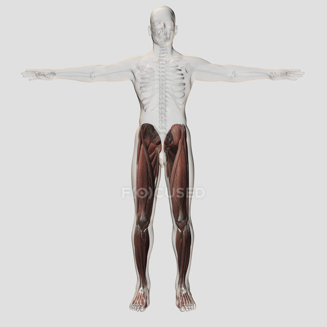 Male muscle anatomy of the human legs — Stock Photo