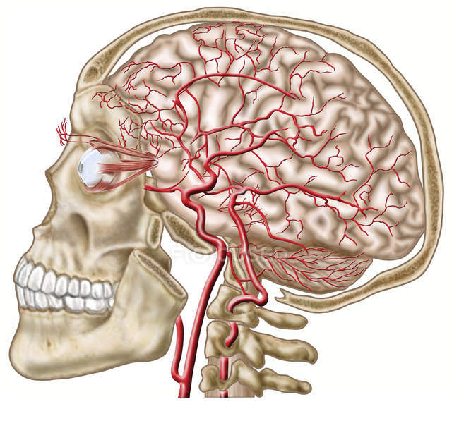 Anatomy of human skull, eyeball and arteries to brain — Stock Photo