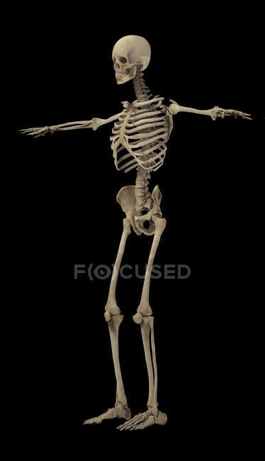 3D rendering of human skeletal system on black background — Stock Photo