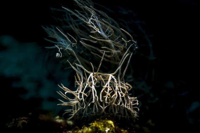 Melabi colemani nudibranche — Photo de stock