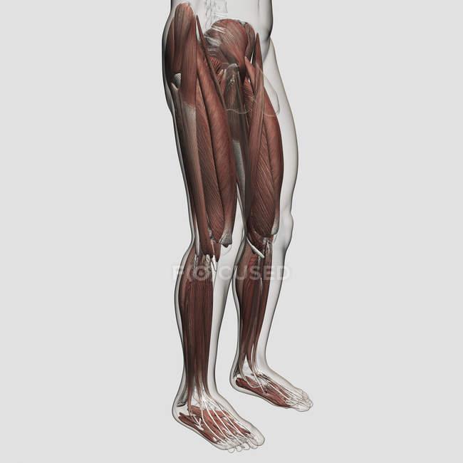 Мужская мышечная анатомия человеческих ног — стоковое фото