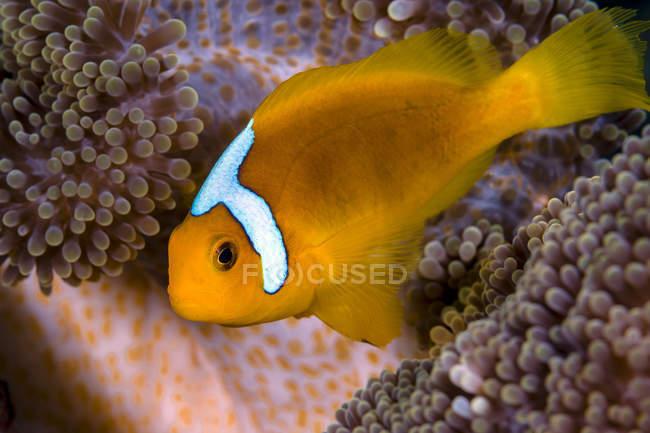 Cofano bianco anemonefish su anemone Merten — Foto stock